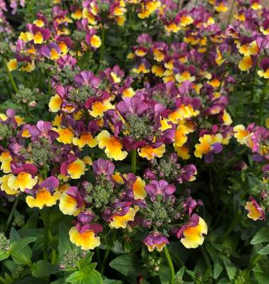 Nemesia Sunglow Yellow Bicolor - Filler